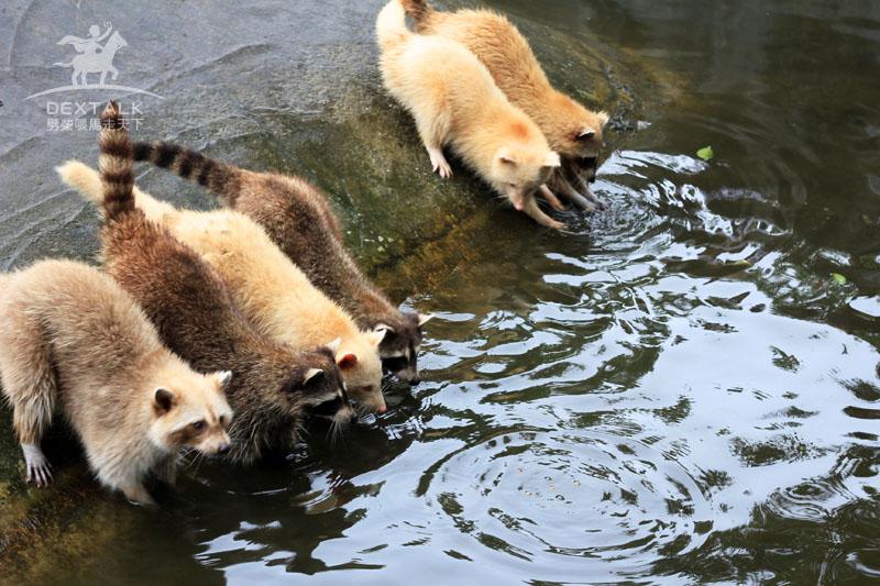 花蓮新光兆豐農場浣熊