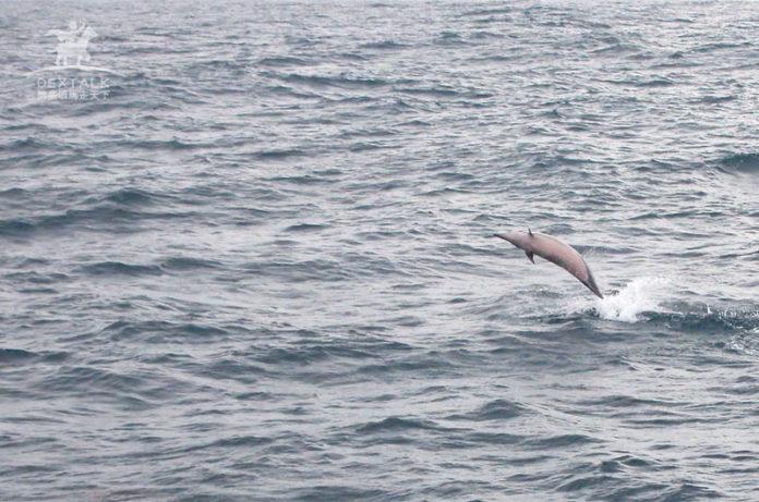 花蓮多羅滿賞鯨海豚跳