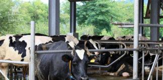 花蓮瑞穗牧場看牛