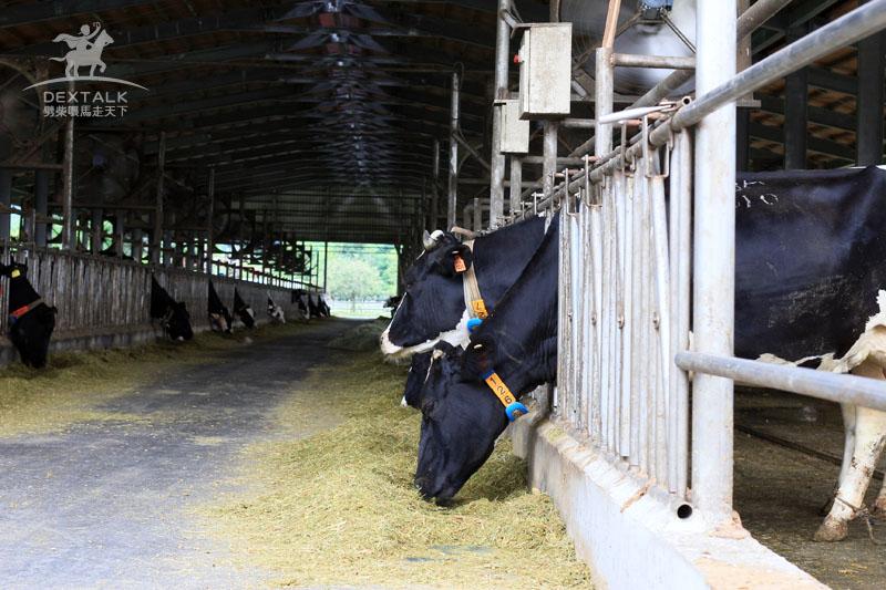 花蓮瑞穗牧場喂牛