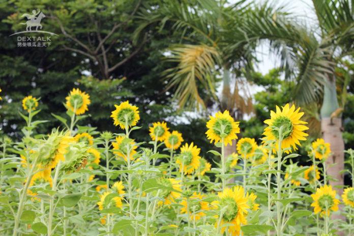 花蓮瑞穗牧場向日葵