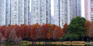 深圳洪湖公園紅杉樹